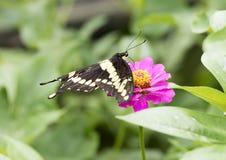 Reuzeswallowtail die nectar op een purpere bloei van Zinnia verzamelen Royalty-vrije Stock Fotografie