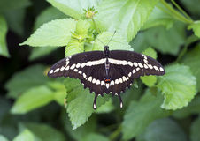 Reuzeswallowtail op een blad Stock Foto's