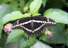 Reuzeswallowtail op een blad Royalty-vrije Stock Foto