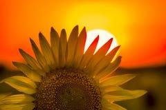 Reuzetexas sunflower royalty-vrije stock fotografie