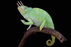 Reuzeusumbura-kameleon (Trioceros-deremensis) Stock Foto's