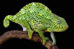 Reuzeusumbura-kameleon (Trioceros-deremensis) Royalty-vrije Stock Afbeeldingen