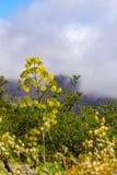 Reuzevenkel, Ferula communis, tegen een bewolkte hemel, Gran Canaria royalty-vrije stock foto