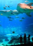 Reuzewalvishaai met diverse overzeese schepselen bij het aquarium de V.S. van Georgië royalty-vrije stock fotografie