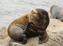 Reuzezeeleeuw die zijn hoofd jeuken royalty-vrije stock foto