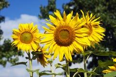 Reuzezonnebloemen in volledige bloei stock foto