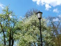 Revérbero do vintage entre ramos de florescência Foto de Stock