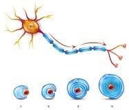 Revêtement de neurone et de gaine myélinique illustration stock