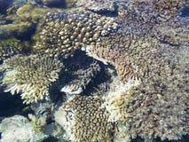 rev för 7 korall Royaltyfria Bilder