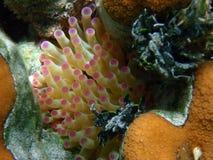 rev för anemon ii Arkivbild