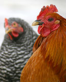 Rev. Kopeland and Gloria. Game rooster and barred rock hen Royalty Free Stock Images
