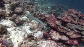 Reva den vita hajen på färgrika koraller för bakgrund som är undervattens- i havet av Maldiverna stock video