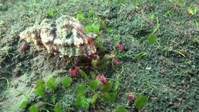 Reva eremitkrabbaDardanus lagopodes i natten på sanden i det zulu- havet Dumaguete Ph arkivfilmer
