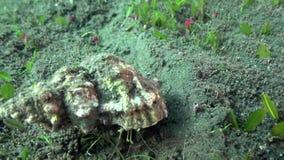 Reva eremitkrabbaDardanus lagopodes i natten på sanden i det zulu- havet Dumaguete Ph stock video
