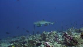 Reva hajen som är undervattens- på bakgrund av fantastisk korall i havsbotten Maldiverna arkivfilmer