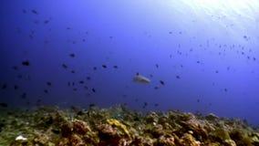 Reva hajen som är undervattens- på bakgrund av fantastisk korall i havsbotten Maldiverna stock video