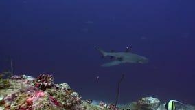 Reva hajen som är undervattens- på bakgrund av fantastisk korall i havsbotten Maldiverna lager videofilmer