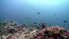 Reva hajen som är undervattens- på bakgrund av solreflexionen i havsbotten Maldiverna stock video