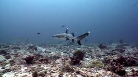 Reva hajen som är undervattens- på bakgrund av solreflexionen i havsbotten Maldiverna lager videofilmer