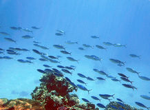 revar undervattens- Royaltyfria Foton
