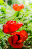 The revealed red poppies, close up Royalty Free Stock Images