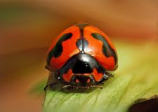 Revealing to true side of ladybird. Stock Photography