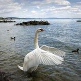 Revelação da cisne suas asas Foto de Stock