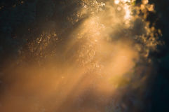 Revelation. Light of the rising sun in thickets of juniper Stock Image