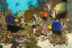 Reven fiskar i akvarium Arkivbild