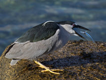 Revenge. A Flat-tailed Needlefish (Platybelone argalus aka Flying fish) has just stabbed (see blood on needle a Black-crowned Night Heron (Nycticorax nycticoras) Stock Photos