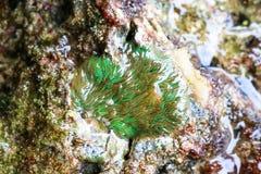 Rever för korall för havsanemon i grunt vatten Royaltyfria Foton