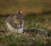 Reverent squirrel Royalty Free Stock Image