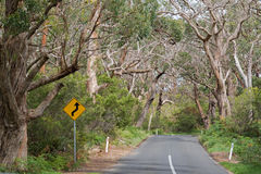 Reverse curve road sign at the road trip thought big gum trees, Stock Photo
