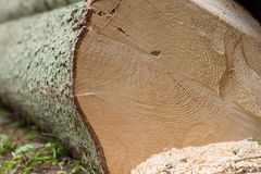Reverse cut spruce tree Stock Photos