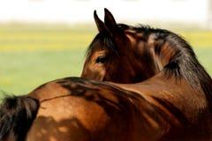Reverse horse head. Arabian pasture Stock Images