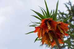 Reverse lale. Fritillaria imperialis. It is an endemic species belonging to the Anatolian geography Stock Image