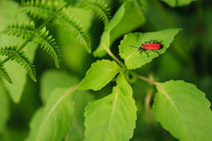 Reverse mimicry. Red bug resting on leaf in full green environment. Instead of mimicry he is protecting with danger signals Stock Images