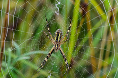 The reverse side of the spider argiope bruennichi. That`s just sitting in the middle of its web Royalty Free Stock Photography