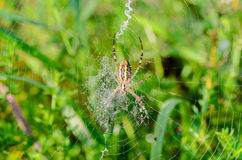 The reverse side of the spider argiope bruennichi. That`s just sitting in the middle of its web Royalty Free Stock Image
