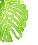 Reverse side of tropical leaf close up Stock Photography