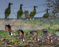 Reversed reflection. The reflection of 4 African ducks, in a funny way Royalty Free Stock Photo