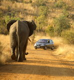 Reversing Practice. African elephant chasing a car, Pilanesburg National Park, South Africa Royalty Free Stock Image