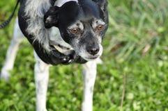 Revestimento vestindo do cão da Mistura-raça do galgo italiano de Terrier de rato Imagens de Stock