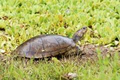 Revestimentos amarelos do rio da tartaruga Fotos de Stock Royalty Free