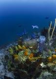 Revfisk Roatan, Honduras Arkivfoto