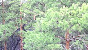 Review of a pine forest in the park stock video footage