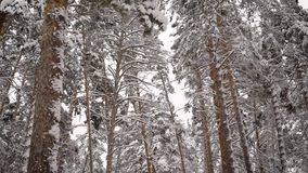 Review of the winter forest. Trees are covered with white snow. The   is the frosty air, tart aroma  needles and pi stock video footage
