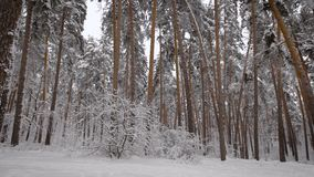 Review of the winter forest. Trees are covered with white snow. the wood is the real factory  curative, clean air. Th stock video footage