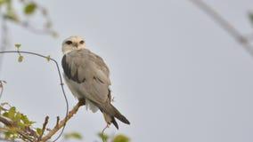Revirement : cerf-volant ou caeruleus Noir-épaulé d'Elanus photo stock
