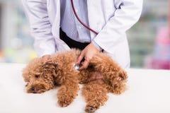 Revise al doctor que examina el perro de caniche lindo con el estetoscopio en la clínica foto de archivo
